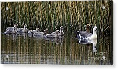 Upland Geese - Patagonia Acrylic Print by Craig Lovell