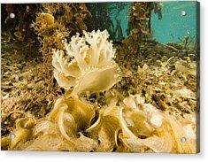 Upsidedown Jellyfish In Mangrove Lagoon Acrylic Print by Tim Laman