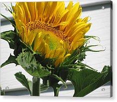 Upward Sunflower Acrylic Print by Amy Bradley