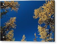 Upward View Of Blue Sky And Conifer Acrylic Print by Raymond Gehman