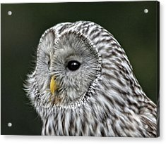 Ural Owl Acrylic Print by Sandra Anderson