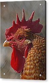 Urban Rooster Acrylic Print by Lisa Phillips
