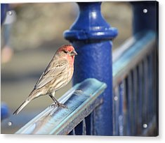 Urban Sparrow Acrylic Print