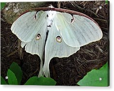 Va Moth Acrylic Print by Louise Mingua