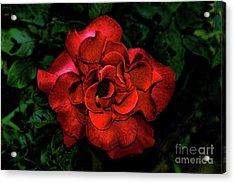 Valentine Rose Acrylic Print by Mariola Bitner