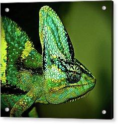 Veiled Chameleon Acrylic Print by Copyright By D.teil