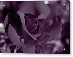 Velvet Rose Acrylic Print by Aidan Moran