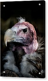 Vera The Vulture Acrylic Print by Peter Jenkins