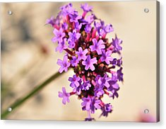 Acrylic Print featuring the photograph Verbena  by Puzzles Shum