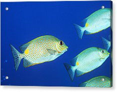 Vermiculated Spinefoot Fish Acrylic Print