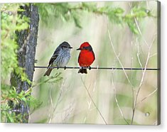 Vermilion Flycatcher In Love Acrylic Print