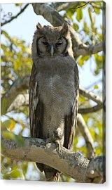 Verreauxs Eagle Owl, Bubo Lacteus, Or Acrylic Print by Paul Sutherland