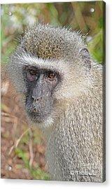Vervet Monkey Acrylic Print by Jonathan Whichard