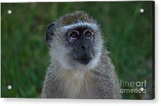 Vervet Monkey Looking Up Acrylic Print