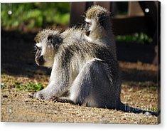 Vervet Monkeys  Acrylic Print by Alexandra Jordankova