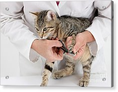 Vet Clipping Kittens Claws Acrylic Print by Mark Taylor