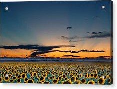 Vibrant Sunflower Field In Colorado Acrylic Print by Victoria Chen
