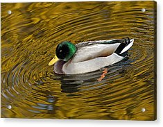 Vibrating Mallard Acrylic Print by Howard Knauer