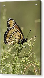 Acrylic Print featuring the photograph Viceroy Butterfly by Betty Depee