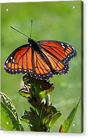 Viceroy Butterfly Number Two Acrylic Print by Paula Tohline Calhoun