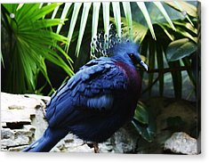 Victoria Crowned Pigeon Acrylic Print by Paulette Thomas