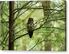 View Of A Northern Spotted Owl Acrylic Print by James P. Blair