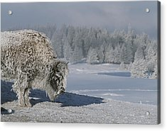 View Of An Ice-encrusted American Bison Acrylic Print by Tom Murphy