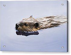 View Of Beaver, Chaudiere-appalaches Acrylic Print by Yves Marcoux