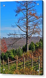 Vineyard In Fall Acrylic Print by Peter  McIntosh