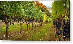 Vineyard Acrylic Print by Jean Noren