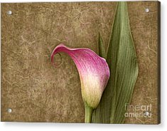 Acrylic Print featuring the photograph Vintage Calla Lily by Cheryl Davis