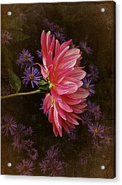 Vintage October Dahlia Acrylic Print by Richard Cummings