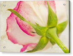Vintage Rose Acrylic Print by Angela Doelling AD DESIGN Photo and PhotoArt