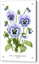 Viola Pansies Acrylic Print by Artellus Artworks