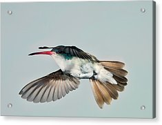 Acrylic Print featuring the photograph Violet Crowned Hummingbird In Level Flight by Gregory Scott