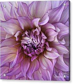 Violet Mandahlia Acrylic Print