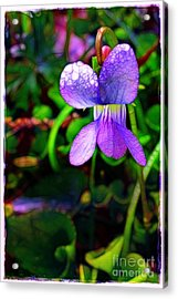 Violet With Dew Acrylic Print by Judi Bagwell