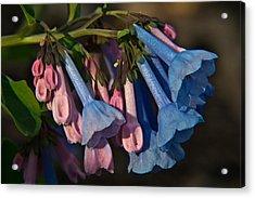 Virginia Bluebells 11 Acrylic Print by Douglas Barnett