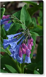 Acrylic Print featuring the photograph Virginia Bluebells by Daniel Reed