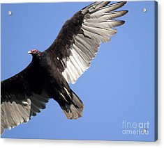 Acrylic Print featuring the photograph Vulture by Jeannette Hunt