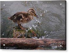Wading Acrylic Print