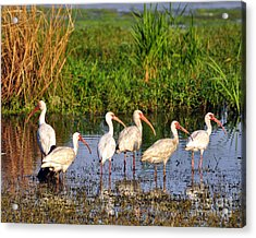 Wading Ibises Acrylic Print by Al Powell Photography USA
