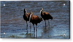 Acrylic Print featuring the photograph Waiding Ibis by Mitch Shindelbower