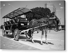 Waiting Mule Acrylic Print by Irvin Louque
