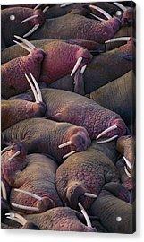 Walruses On The Beach Acrylic Print by Joel Sartore