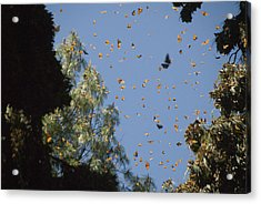 Warmed By The Sun, Thousands Of Monarch Acrylic Print by Annie Griffiths