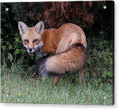 Wary Fox Acrylic Print by Doris Potter