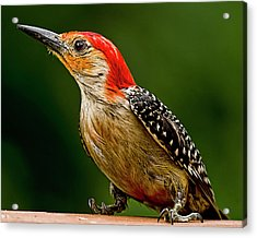 Wary Red-belly Acrylic Print by Michael Putnam