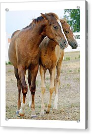 Wary Young Horses Acrylic Print by Jim  Arnold
