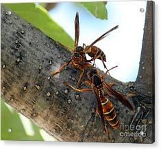 Wasp Fight Acrylic Print by Billie-Jo Miller